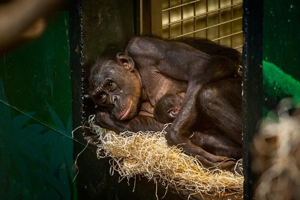 Bonobobaby geboren in Planckendael