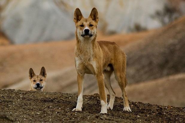Des dingos s'emparent d'un enfant dans un camping en Australie