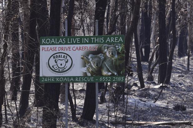 Al meer dan 2.000 koala's omgekomen bij bosbranden in Australië