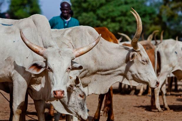 'West-Afrikaanse melkboeren worden doodgeconcurreerd door Europese subsidies'