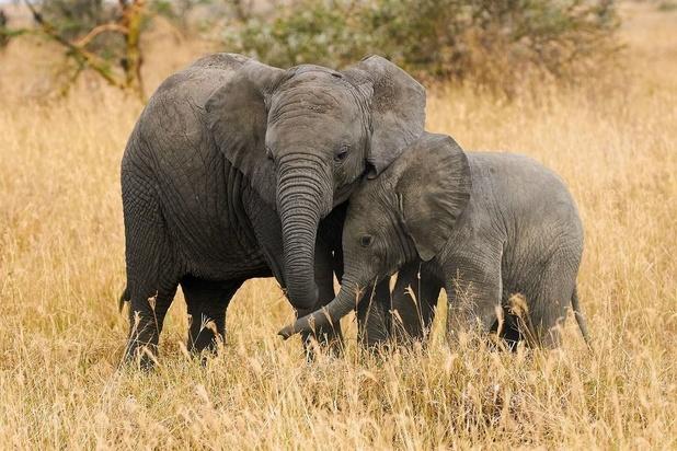 Botswana: Des algues bleues ont causé la mort de centaines d'éléphants