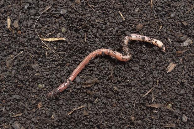 Les microplastiques nuisent à la croissance des vers de terre