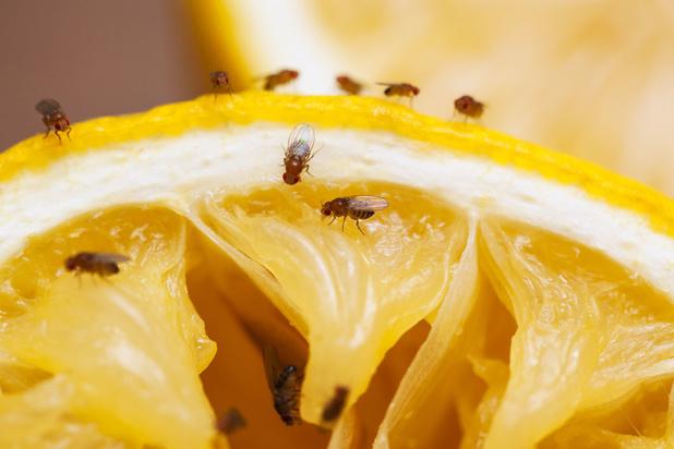 Mysterie van de dag: waarom duiken fruitvliegjes plots op in de zomer?