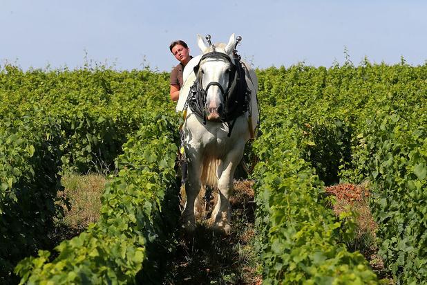 Champagne: Le cheval est l'avenir de la vigne