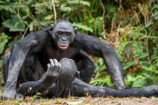 Chez des singes d'Afrique, la communication en partie innée