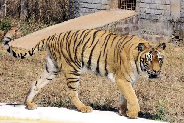 La sécheresse en Inde provoque des comportements étranges chez les animaux