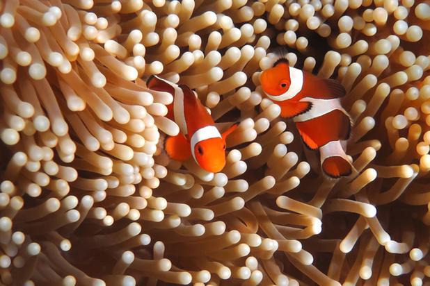 Les poisson clowns menacé par la pollution lumineuse