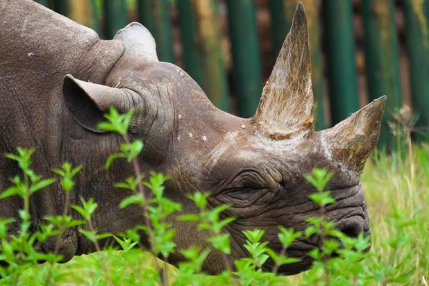 Oudste zwarte neushoorn ter wereld overleden