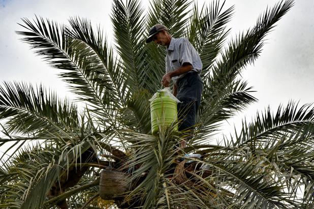 Le legmi, fragile boisson du palmier