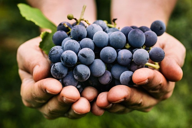 2018, un grand cru pour la production viticole belge