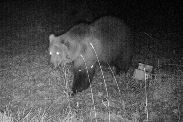 Premier ours brun en Allemagne depuis 2006