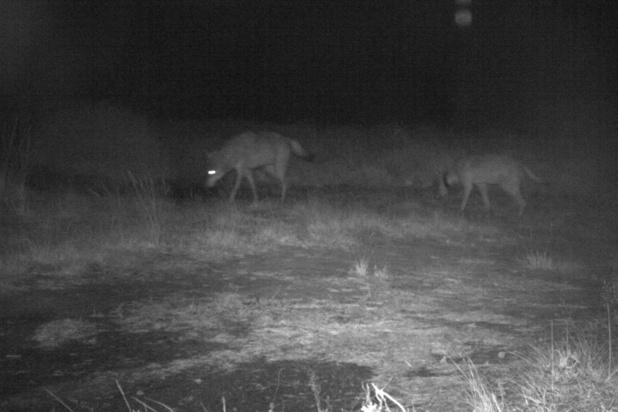 La louve Naya attend des petits