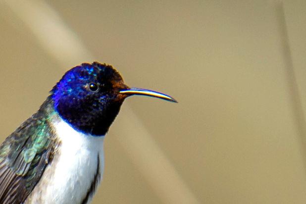 Le merveilleux chant du colibri contre-tenor