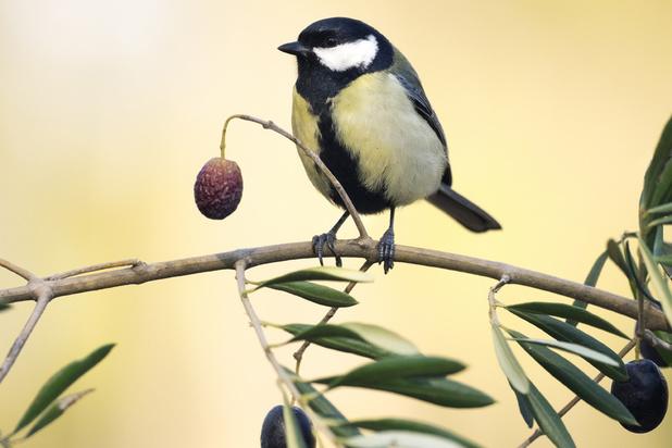 Du sang d'oiseaux dans l'huile d'olive