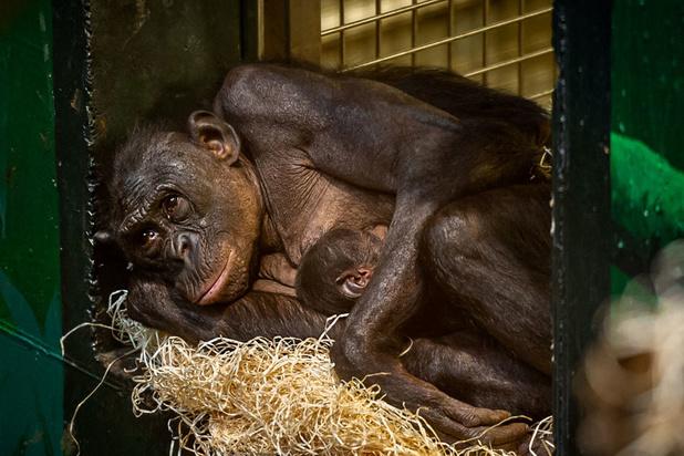 Un petit bonobo a pointé le bout de son nez à Planckendael