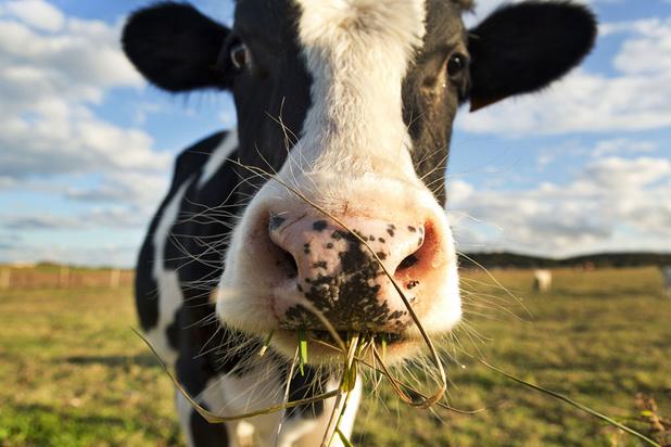 Mysterie van de dag: waarom eet de mens geen gras?
