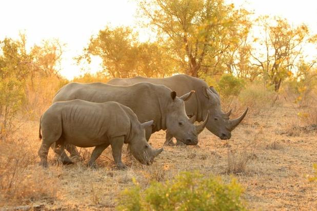 In half jaar minstens 249 neushoorns gedood in Zuid-Afrika