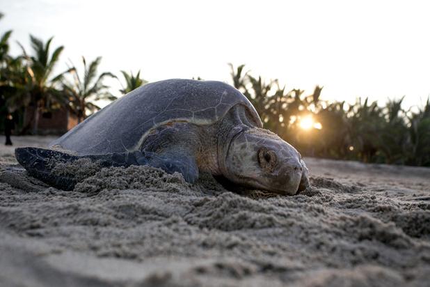 Une algue tue indirectement des centaines de tortues rares au Mexique