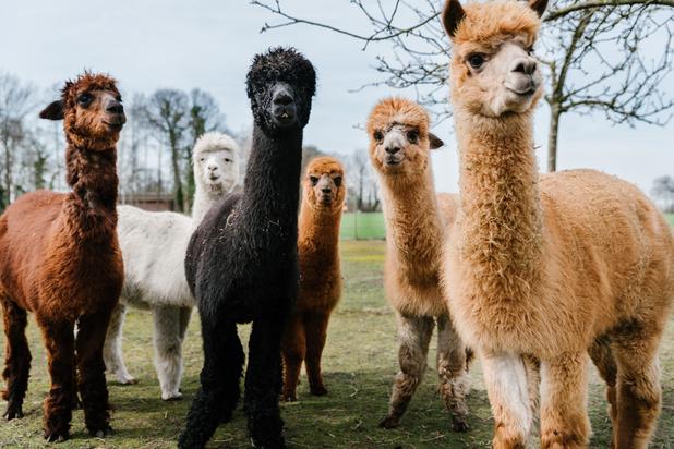 La laine d'alpaga, tradition millénaire devenue fer de lance de l'industrie textile péruvienne
