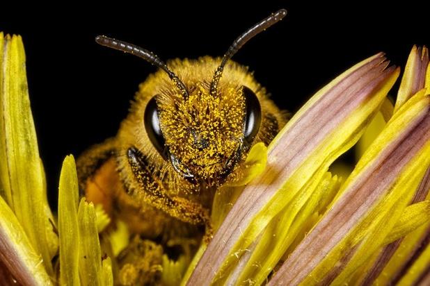 Pesticides: des alternatives qui ne protègent pas suffisamment les abeilles