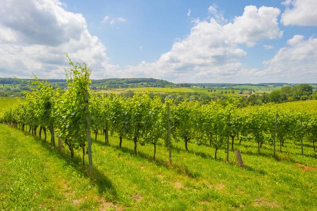 Un vignoble expérimental à Flémalle pour préparer la viticulture de demain