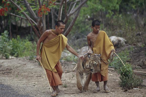 Mort de dizaines de tigres confisqués à un temple thaïlandais pour soupçon de maltraitance