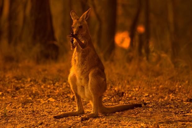 Australische ecoloog: waarschijnlijk 480 miljoen dieren gedood door bosbranden