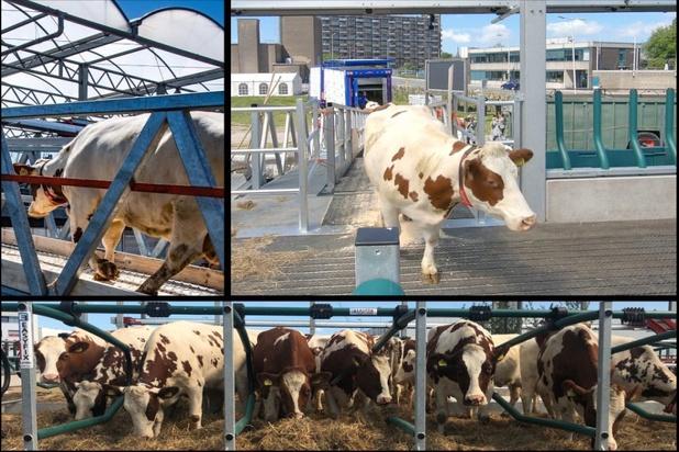 Koeien zijn gearriveerd op de eerste drijvende boerderij ter wereld in Rotterdam