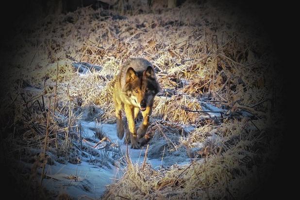 Sur les traces du loup en Wallonie