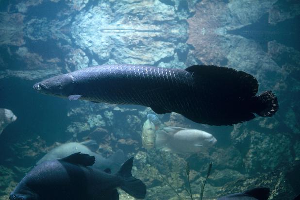 Le pirarucu, poisson géant autrefois menacé d'extinction, désormais prisé des gastronomes