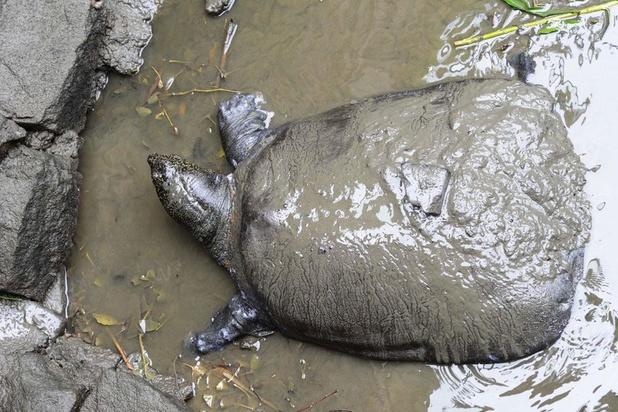 1 van de 4 laatste yangtze-weekschildpadden ter wereld gestorven