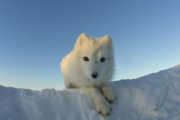 Le fabuleux voyage d'un renard arctique : 3 500 km de la Norvège au Canada