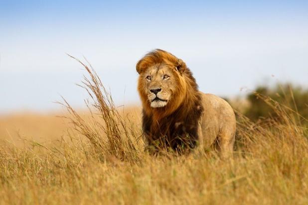 Comment le passé colonial a rendu le roi des animaux plus vulnérable