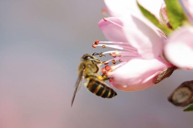 Le twerk des abeilles décodé par les scientifiques (vidéo)