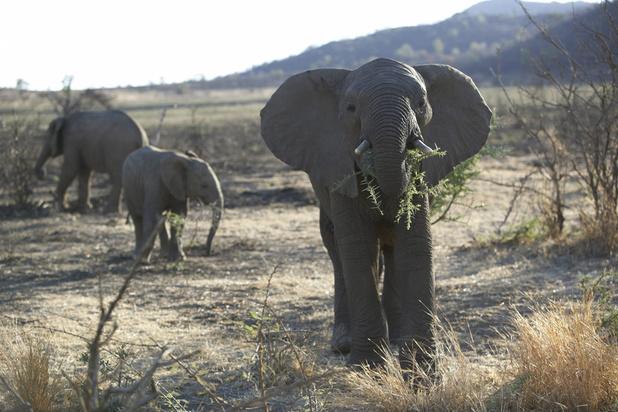 Des milliers d'animaux menacés par la sécheresse dans le sud de l'Afrique