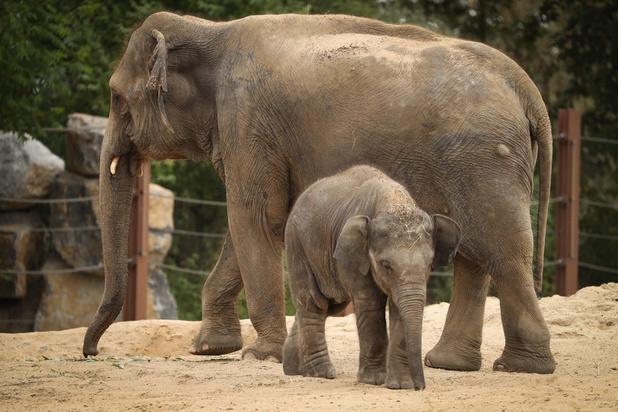 Pairi Daiza: un heureux évènement attendu dans la famille éléphants