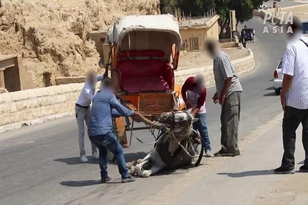 PETA: Kamelen en paarden in de toeristische industrie worden in Egypte gruwelijk mishandeld
