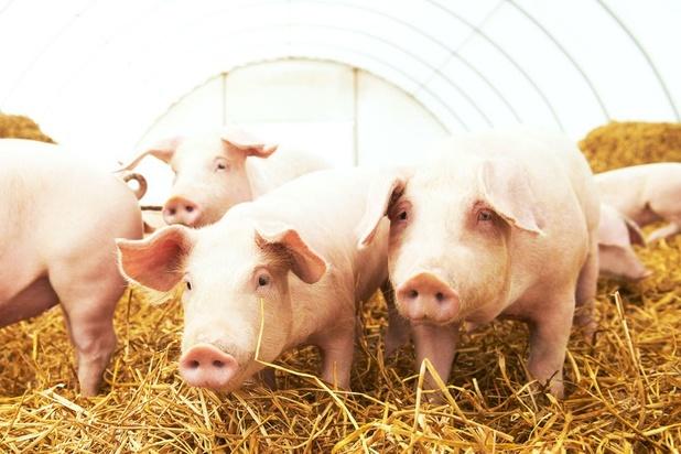 Un stimulateur cardiaque alimenté par les battements du coeur testé chez des porcs
