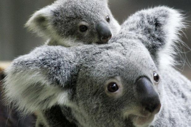 Sauver les koalas affamés, grâce à une méthode un peu particulière