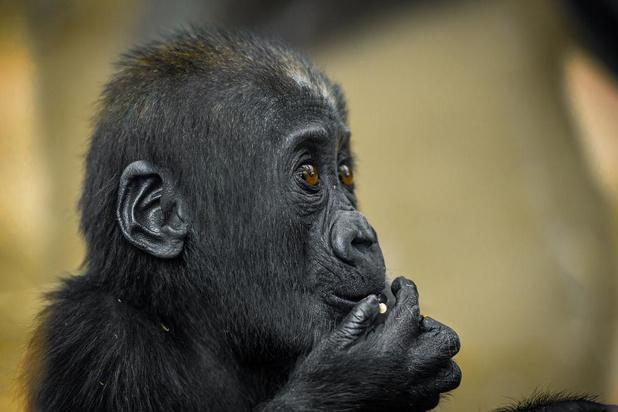 Jarige babygorilla Thandie wordt grote zus