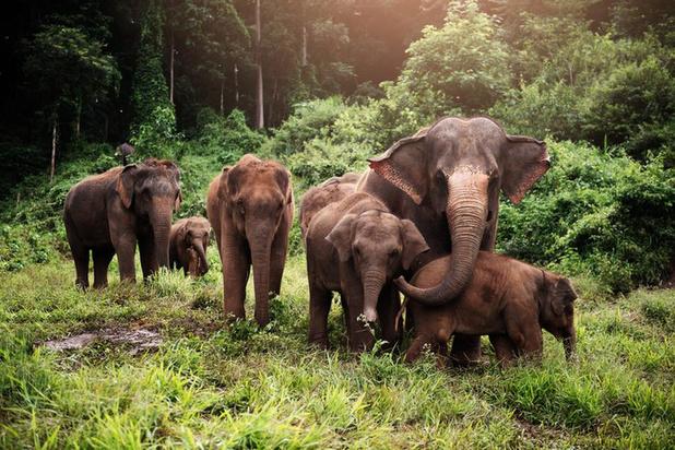 Planckendael en Pairi Daiza samen ten strijde tegen olifantenherpes