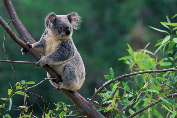Vrees dat honderden koala's zijn omgekomen bij bosbranden in Australië