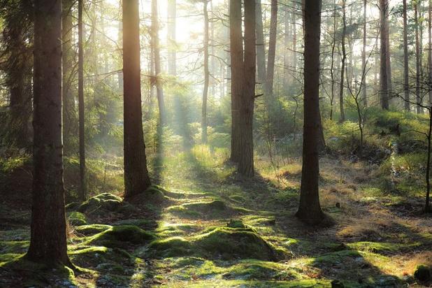 La Société royale forestière teste des arbres résistants aux changements climatiques