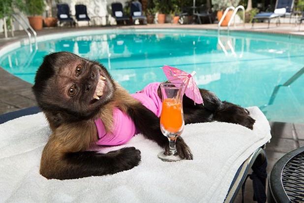 De aap die 12.000 dollar per aflevering kreeg en drie andere iconische filmdieren