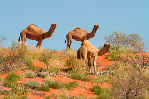 Vijfduizend dromedarissen in Australië gedood in verband met droogte