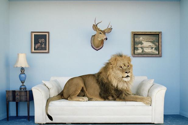 Le lion, animal de compagnie au Pakistan