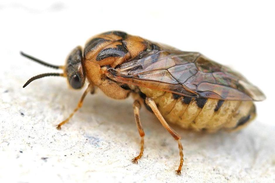 Beestenboel: de dennenbladwesp kan hele stukken bos zo goed als kaal vreten