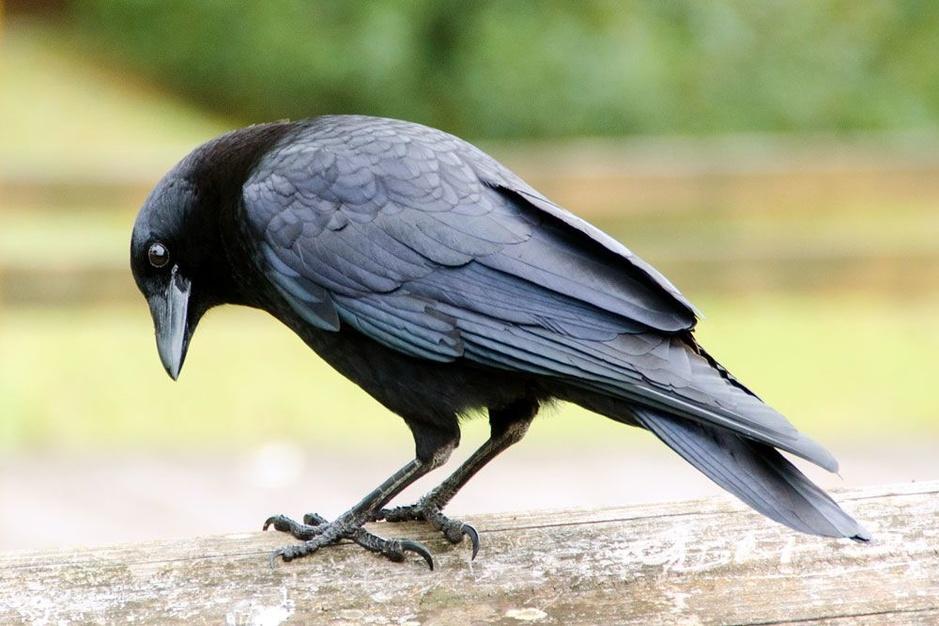 De slimste vogels ter wereld: raven die vooruitplannen en andere hoogvliegers
