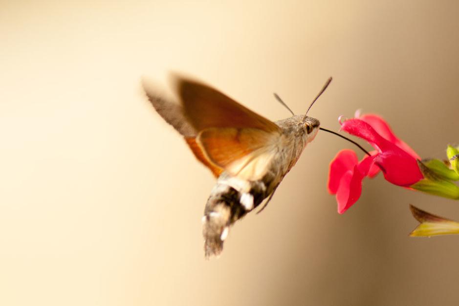 Beestenboel: de kolibrievlinder is in onze streken aan een opmars bezig