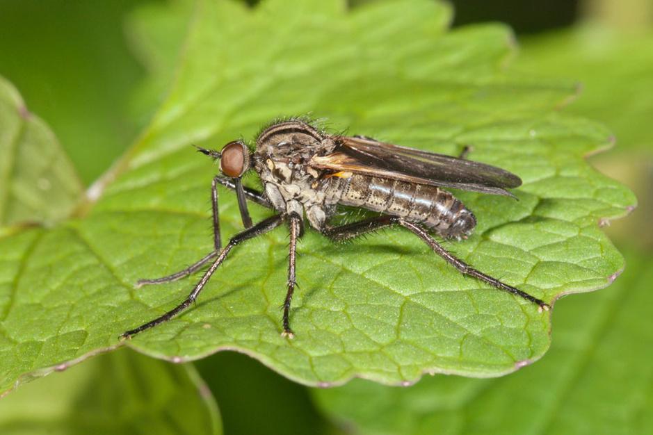 Beestenboel: mannelijke dansvliegen vallen voor opgeblazen vrouwtjes met behaarde poten